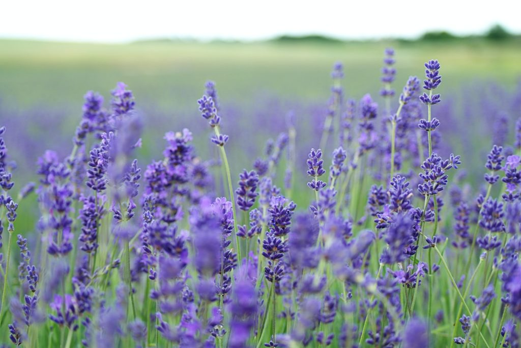 Lavender scents are useful for maintaining focus