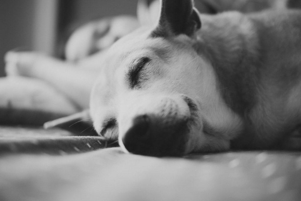 幸せに眠る犬